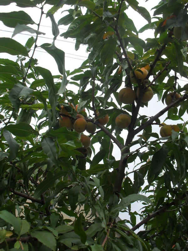 Наш персик