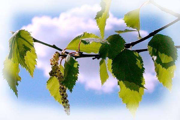 Березы, фото с сайта eparhiya.by