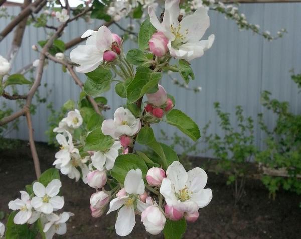 Мой сад в цвету