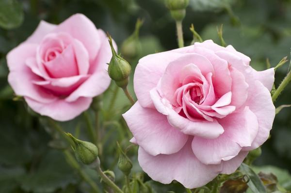 На 7 дач - розовые выходные