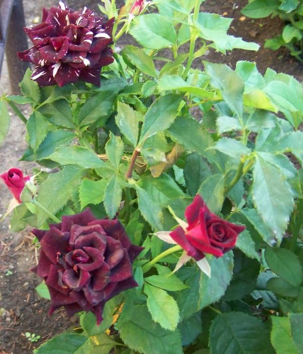 Роза Фокус-покус