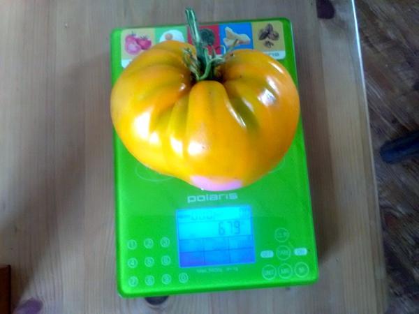 Томат Оранжевое чудо