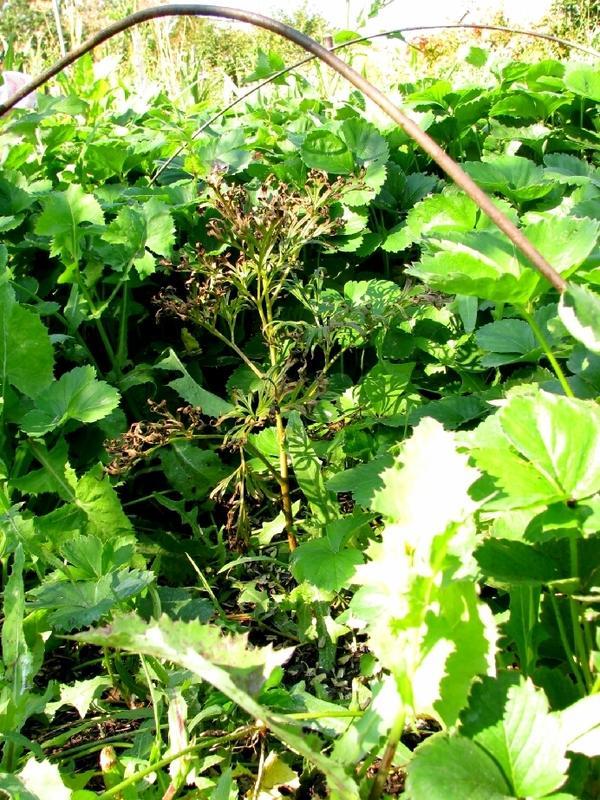 Посаженный в прошлом году цветок «Марьин корень» принялся, хорошо подрос и даже пытался цвести. В связи с ожиданием эксперимента уход за ним был ослаблен. На этом снимке его еле видать.