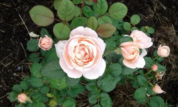 Вот уж никогда не думала что влюблюсь в розы... Всегда относилась к ним нейтрально, думала что возни с ними много... В прошлом году, по воле случая, посетила ландшафтный парк в Новосибирске. Парк развивается с 2013 года, в общем молодой еще… но такого обилия роз сказочной красоты я еще не видела…  Все розы из европейских питомников.  Сказать что я влюбилась в розы — значит ничего не сказать, я просто заболела ими... Подумав немного, зимой заказала 6 розочек и в начале июня высадила свои розочки на своем участке. Вот они мои красавицы