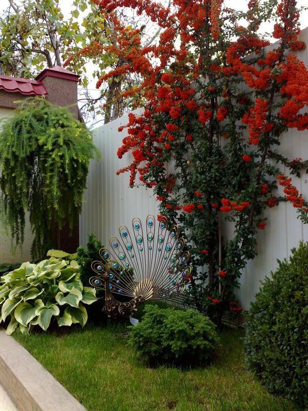 Наш любимый сад. Пираканта павлинья