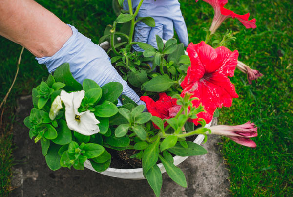 Наши ошибки при выращивании петуний