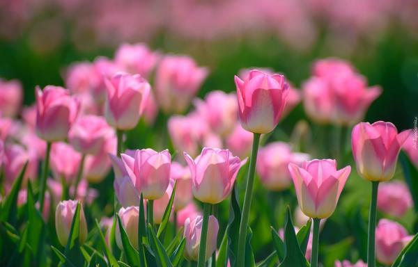 На 7 дач - выходные с тюльпанами