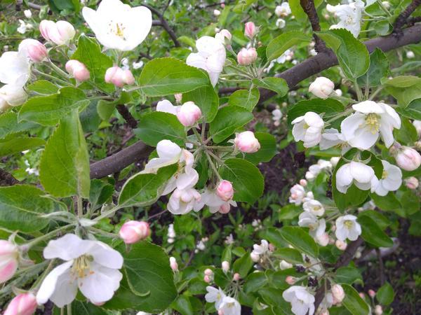 Яблоня цветет. Автор фото - Надежда (Hope)