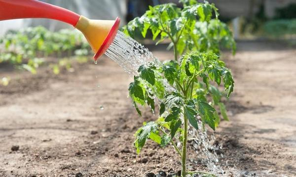 Что осталось не до конца понятным по поливу и подкормке томатов?