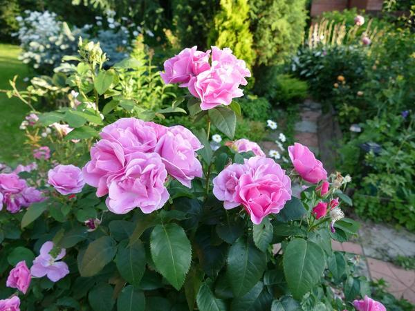 Розы, автор фото - Татьяна (Vesna53)
