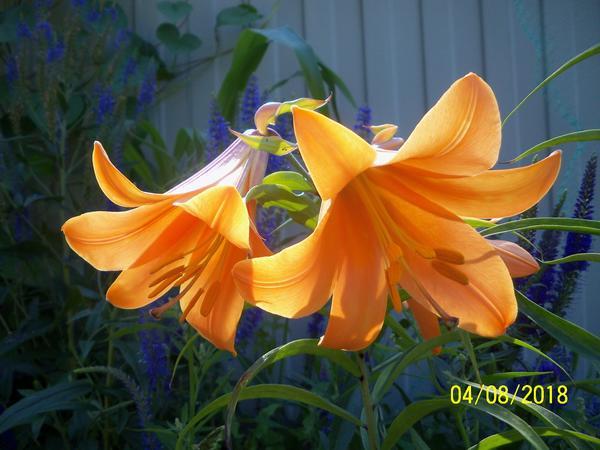 Лилии трубчатые - изумительные граммофоны в моем саду
