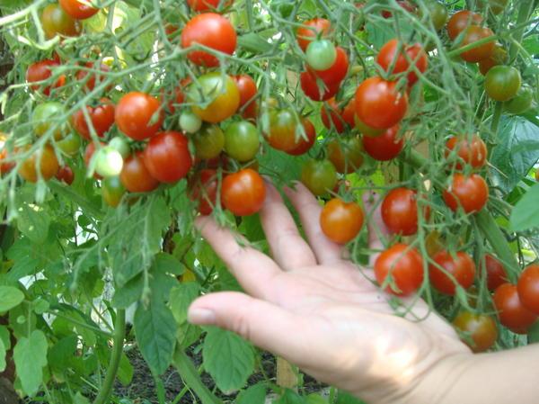 Урожай. Автор фото - Татьяна Фатуллаева (TatyanaFatullaevaBolshakova)
