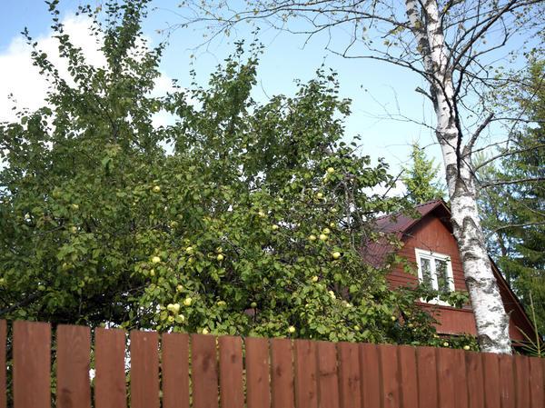 Какие деревья нельзя сажать возле дома