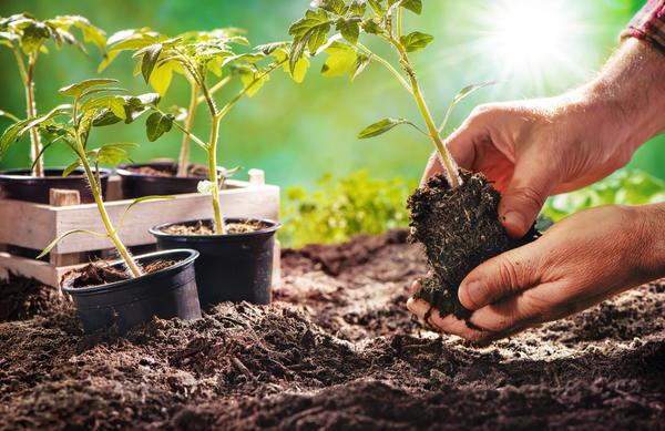 Высаживаем рассаду томатов