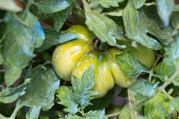 Медный купорос - лекарство или недопустимый яд в саду и огороде?
