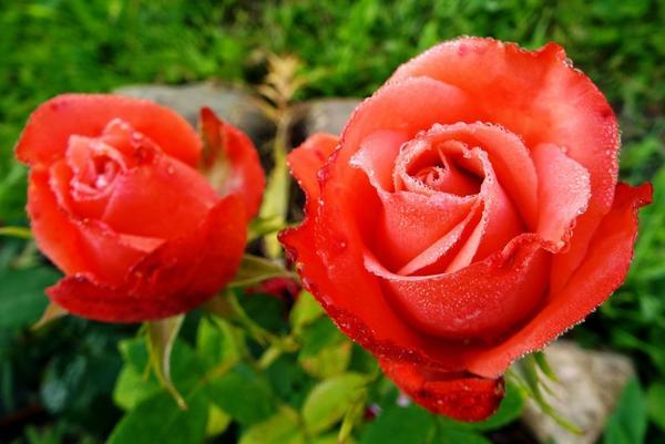 Эту розу я купила на рынке. Сорта не знаю, а очень хочется знать имя этой красавицы. Может, кто-то сможет помочь?
