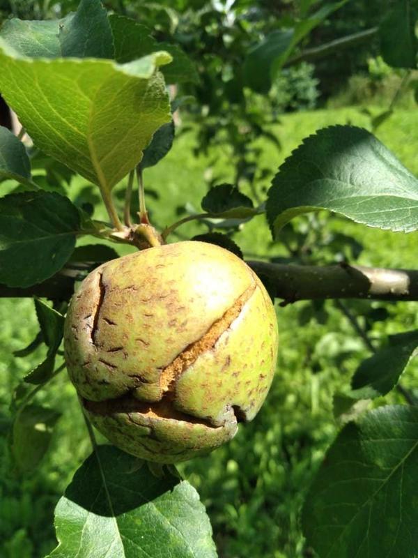Яблоки прямо на дереве лопаются, выглядят как разорванные. Что за странное заболевание?