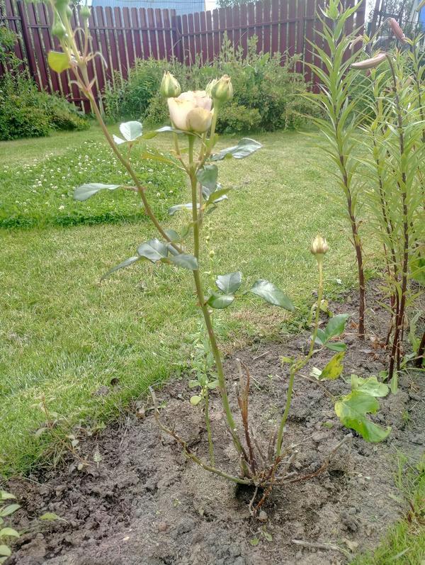 Роза каждый год с середины лета стоит почти голая, без листьев. Что может быть причиной этого?