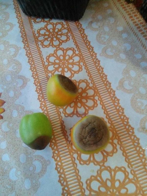 Плоды помидоров как будто спеченные с конца. Что это может быть и как это вылечить?