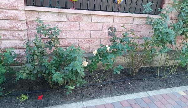 Пересадили большие кусты роз, а погода сухая и жаркая. Что нужно сделать, чтобы кусты прижились?