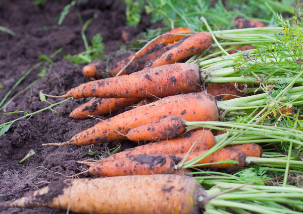 Каким был 2020-й для моркови?