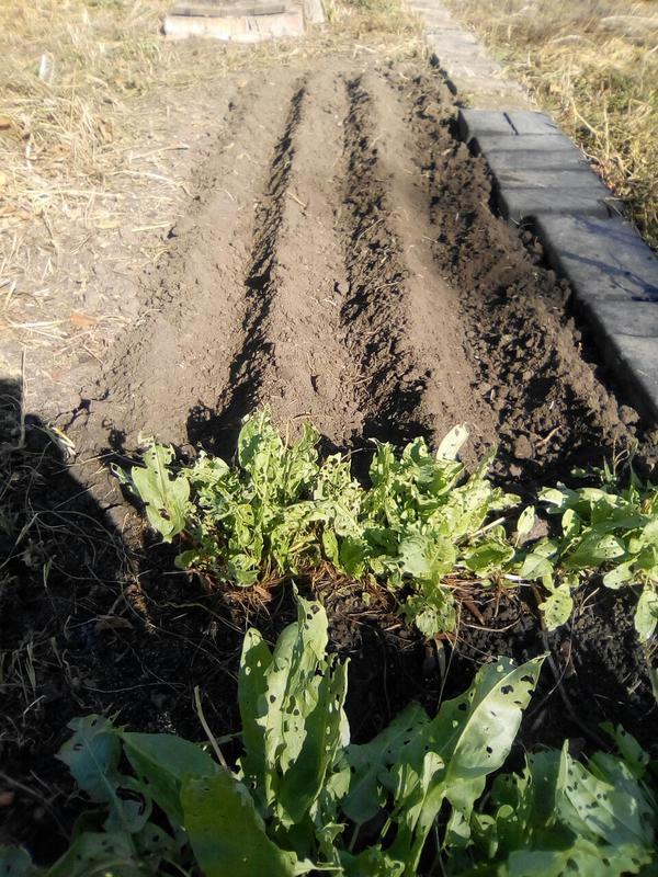 Если посадить чеснок на Покров в этом году, не прорастёт ли он до конца октября в связи с такой погодой?