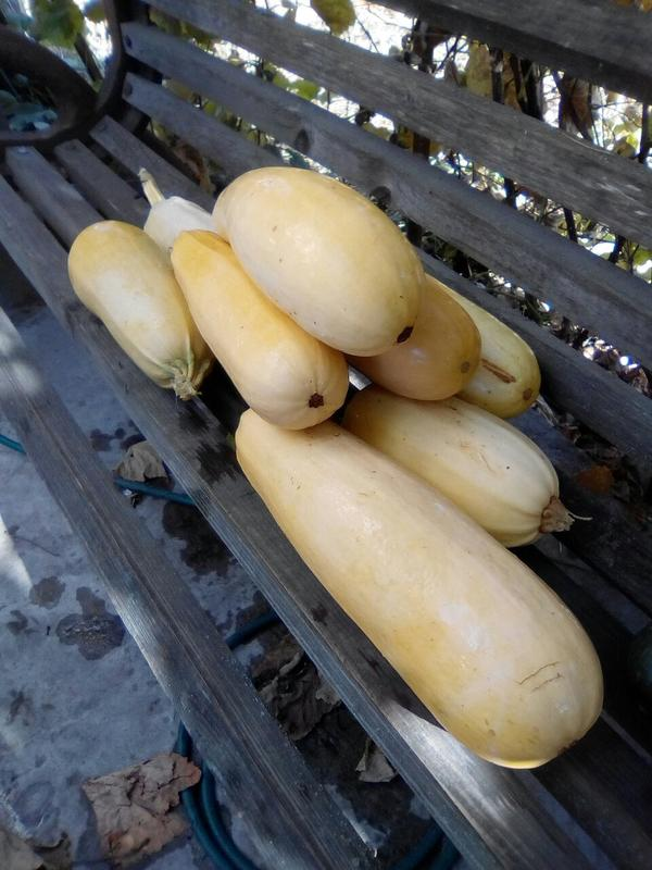 Можно ли из переросших кабачков, собранных в октябре, сделать кабачковую икру?