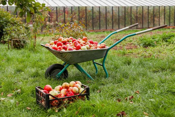 Яблони и яблоки 2020-го