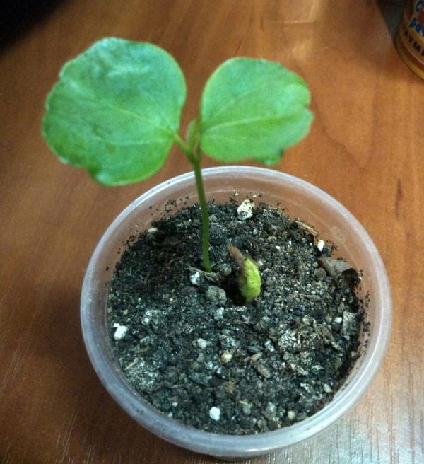 Что это за растение? Есть подозрение, что теспезия