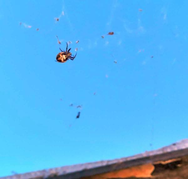 Впервые вижу такого паука и очень стало интересно