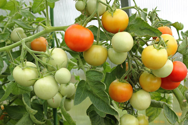 У кого какие томаты растут?