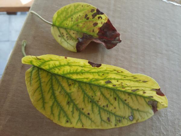 Что за болезнь поразила листья?
