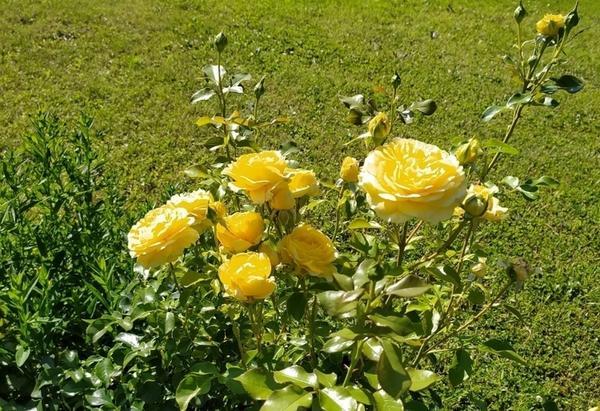 Роза Инка от Людмилы (Mila-NSK)