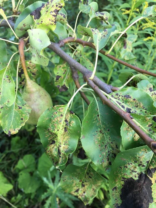 Чем болеет груша?