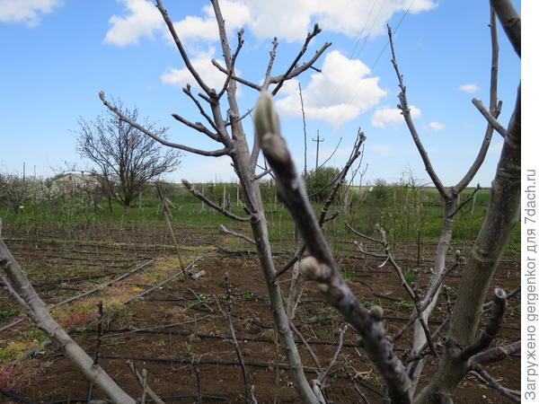"""Четырёхлетнее дерево ореха сорта """"Чендлер"""""""