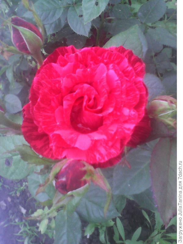 красная бархатистая роза с изумительными розовыми бликами на лепестках