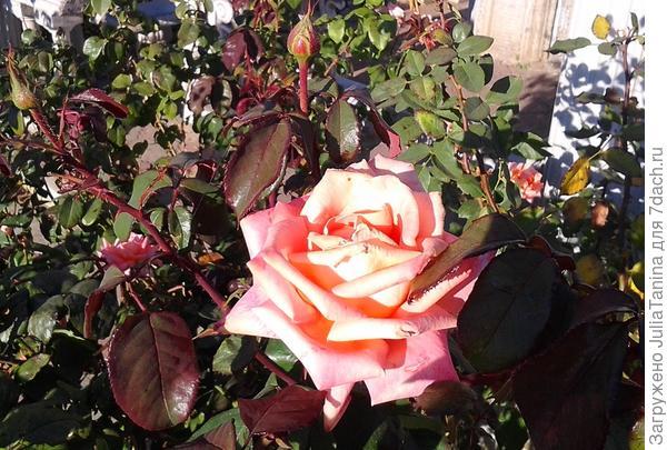 Прекрасная роза для прекрасных победителей.(фото от 12.10.2014 года)