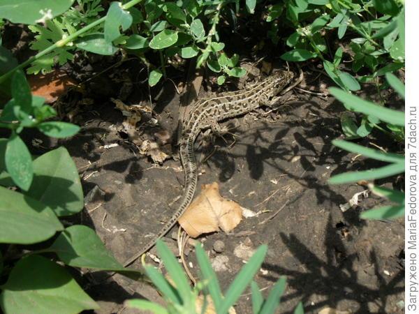 ящерица в огороде