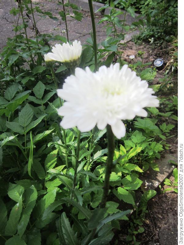 Вот что выросло. С фото на пакете похож. Но мне показалось, что больше на хризантему похож. Но стебель не жесткий. Красавица. Начало цветения.