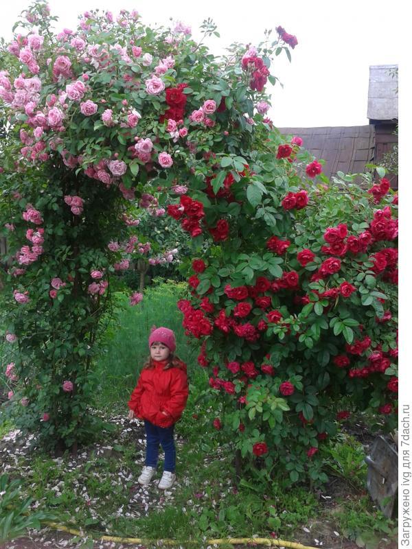 Это не Соня такая маленькая, это розы такие на даче выросли