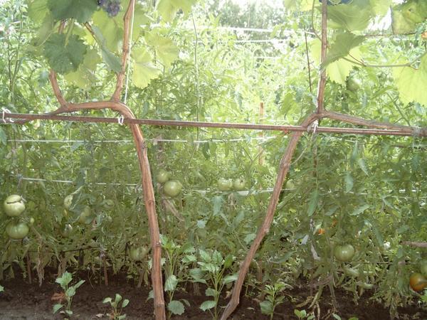 Наши помидорки