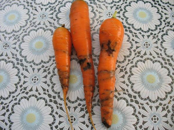 Изъеденная морковь - фото представлено подписчиком