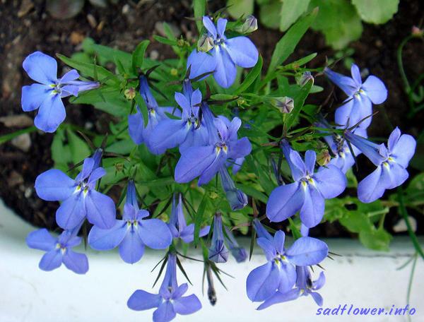 Фото с сайта sadflower.info
