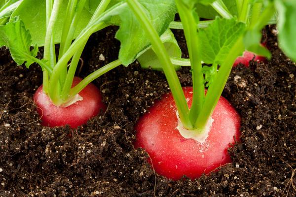 Вырастить редис можно не только на дачной грядке, но и на домашнем подоконнике