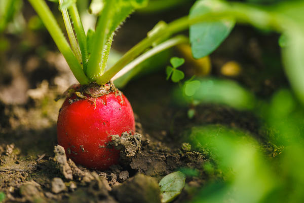 Поливайте посевы умеренно, но регулярно