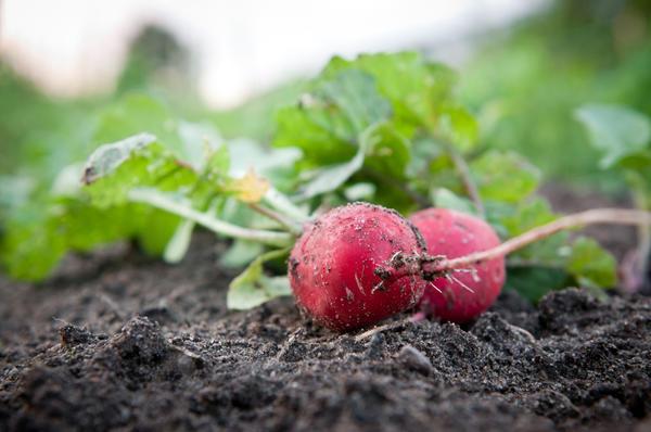 Для домашнего огорода выбирайте скороспелые сорта