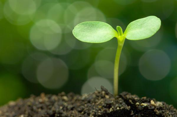 Для рассады с осени заготавливают плодородную рыхлую почву или приобретают весной специально приготовленный рассадный грунт