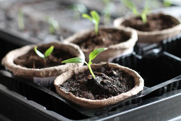 Время посева рассады определяют сроком высадки в открытый грунт или теплицу