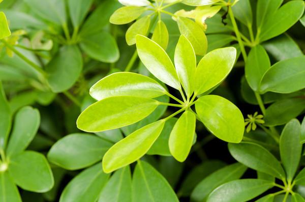 Schefflera leucantha R. Vig
