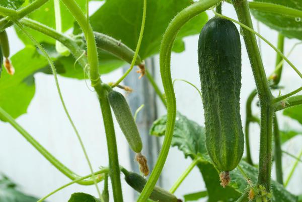 Овощи можно выращивать дома на подоконнике